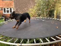 Watch This Dog Go Wild On Her Trampoline